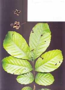 Image of Cupania cinerea