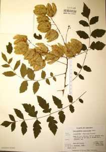 Image of Koelreuteria paniculata