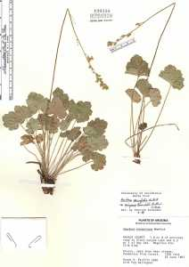 Image of Heuchera inconstans