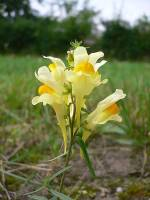 Image of Linaria vulgaris