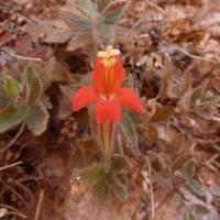 Image of Mimulus eastwoodiae