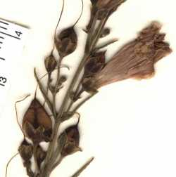 Penstemon pseudoputus image