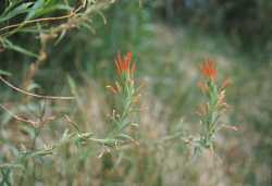 Image of Castilleja minor