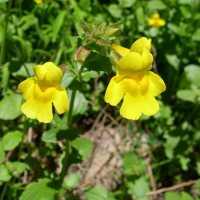 Image of Mimulus guttatus