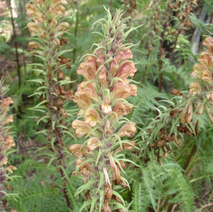 Pedicularis image