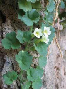 Image of Mabrya acerifolia