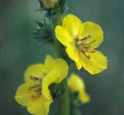 Image of Verbascum virgatum
