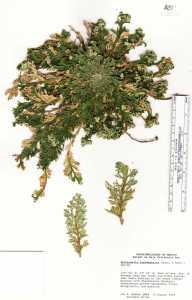 Image of Selaginella lepidophylla