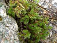 Image of Selaginella rupincola
