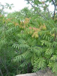 Image of Ailanthus altissima