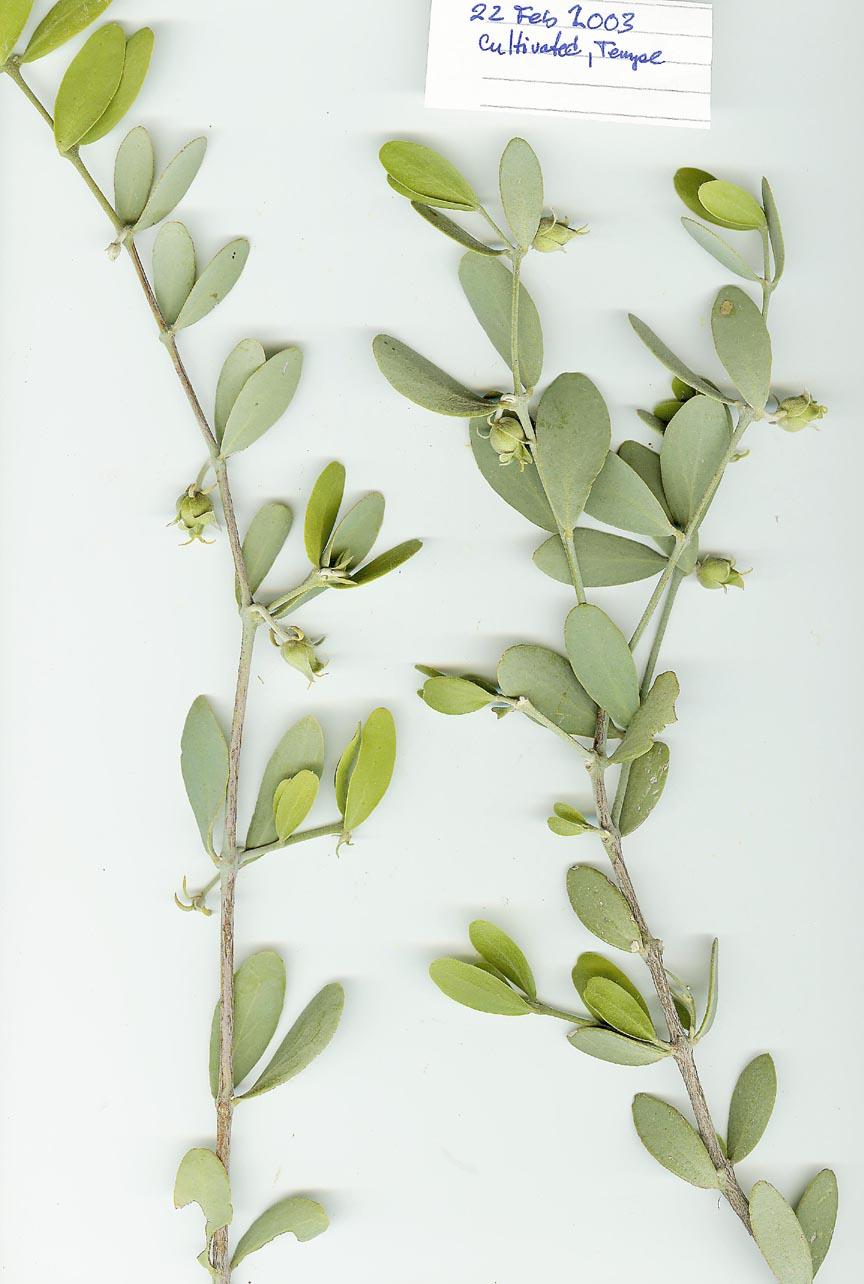 Simmondsiaceae image