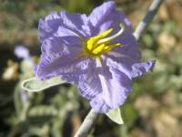 Image of Solanum hindsianum