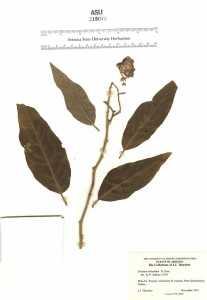 Image of Solanum erianthum