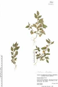 Image of Solanum adscendens