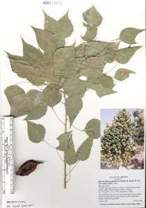Brachychiton populneus image