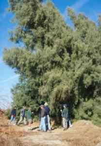 Image of Tamarix aphylla