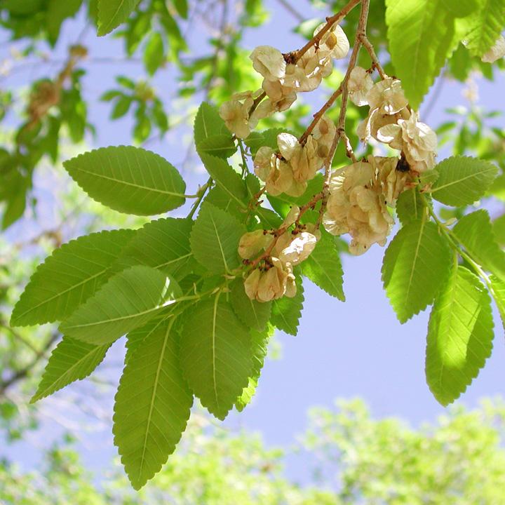 Ulmaceae image