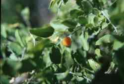 Image of Celtis pallida
