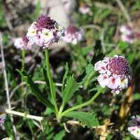 Image of Phyla cuneifolia