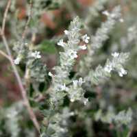 Image of Aloysia wrightii