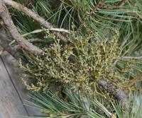 Image of Arceuthobium apachecum