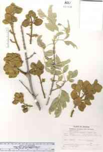 Image of Phoradendron villosum