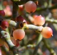 Image of Phoradendron californicum
