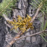 Image of Arceuthobium douglasii