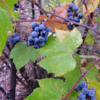 Image of Vitis arizonica