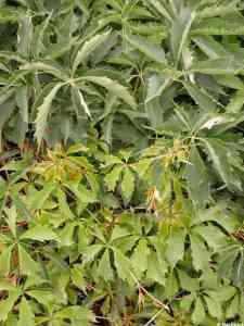 Image of Parthenocissus vitacea