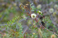 Image of Acacia roemeriana