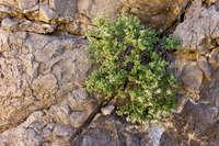Image of Ageratina wrightii
