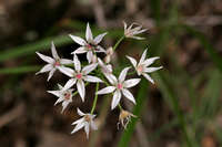 Image of Allium rhizomatum
