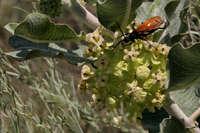 Image of Asclepias arenaria