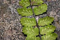 Image of Asplenium palmeri