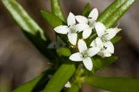 Image of Crusea diversifolia