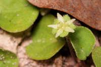 Image of Dichondra sericea