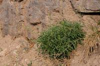 Image of Diplotaxis tenuifolia