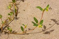 Image of Chamaesyce carunculata