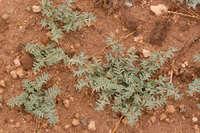 Image of Euphorbia lata