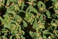 Euphorbia stictospora image