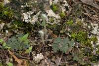 Image of Cheilanthes horridula