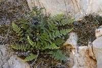 Image of Myriopteris windhamii