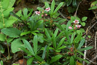 Chimaphila umbellata image