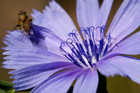Image of Cichorium intybus