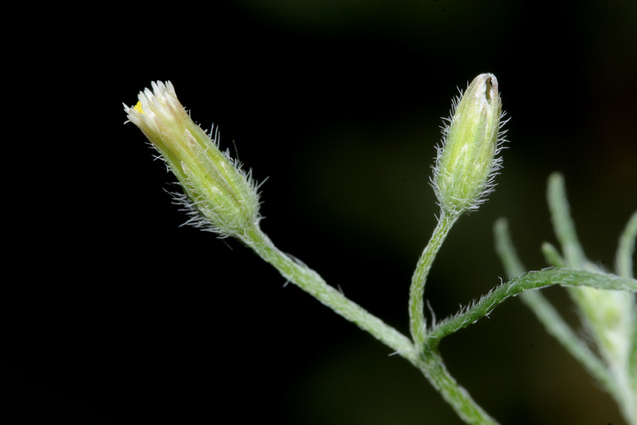 Conyza ramosissima image