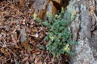 Corydalis aurea image