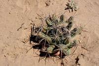 Coryphantha robustispina subsp. scheeri image