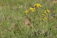 Image of Eriogonum hieracifolium