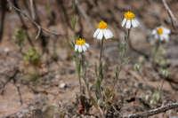 Image of Eriophyllum lanosum